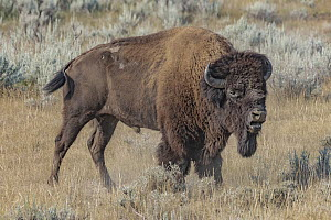 American Bison (Bison bison) bull calling, Theodore Roosevelt National Park, North Dakota  -  Jeff Foott