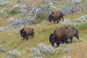 American Bison (Bison bison) bull and females, Theodore Roosevelt National Park, North Dakota  -  Jeff Foott