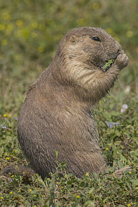 Black-tailed Prairie Dog (Cynomys ludovicianus) feeding, Theodore Roosevelt National Park, North Dakota  -  Jeff Foott