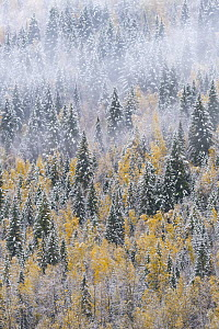 Mixed coniferous and deciduous forest after snowfall in autumn, Wells Gray Provincial Park, British Columbia, Canada - Jeff Foott