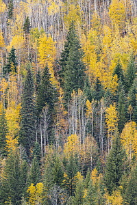 Mixed coniferous and deciduous forest in autumn, Wells Gray Provincial Park, British Columbia, Canada - Jeff Foott