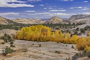 Cottonwood (Populus sp) trees in autumn, Grand Staircase-Escalante National Monument, Utah  -  Jeff Foott