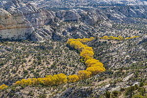 Cottonwood (Populus sp) trees in riverine dip in autumn, Grand Staircase-Escalante National Monument, Utah - Jeff Foott