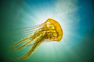 Pacific Sea Nettle (Chrysaora fuscescens) jellyfish, Monterey Bay, California - Ralph Pace