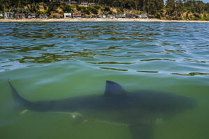 Great White Shark (Carcharodon carcharias) juvenile near coast, Capitola, California - Ralph Pace