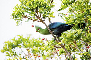 Knysna Turaco (Tauraco corythaix), Garden Route National Park, South Africa  -  Richard Du Toit