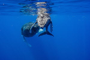 Humpback Whale (Megaptera novaeangliae) mother and calf, Maui, Hawaii  -  Flip  Nicklin