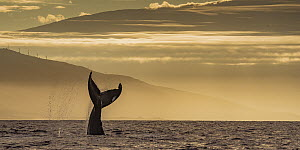 Humpback Whale (Megaptera novaeangliae) tail slapping at sunrise, Lahaina, Maui, Hawaii  -  Flip  Nicklin