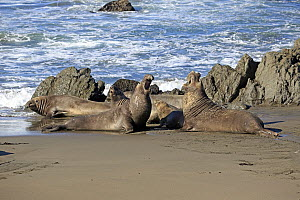 Northern Elephant Seal (Mirounga angustirostris) males facing off, Piedras Blancas, California - Juergen & Christine Sohns