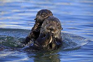 Sea Otter (Enhydra lutris) mother feeding with pup, Monterey Bay, California - Juergen & Christine Sohns