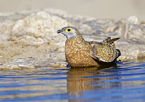 Burchell's Sandgrouse (Pterocles burchelli) storing water in belly plumage at waterhole to transport to chicks, South Africa  -  Winfried Wisniewski