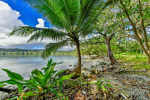 Coconut Palm (Cocos nucifera) tree on coast, Aimbuei Bay, Aore Island, Vanuatu  -  Shane P. White