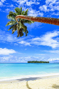 Coconut Palm (Cocos nucifera) tree on beach, Port Olry, Espiritu Santo, Vanuatu  -  Shane P. White
