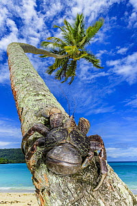 Coconut Crab (Birgus latro) on palm tree, Espiritu Santo, Vanuatu  -  Shane P. White