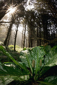 Western Skunk Cabbage (Lysichiton americanus) in temperate rainforest, Oregon  -  Jaymi Heimbuch