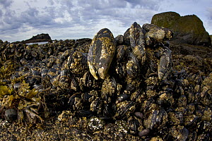 California Mussel (Mytilus californianus) group, Yaquina Head Outstanding Natural Area, Newport, Oregon  -  Jaymi Heimbuch