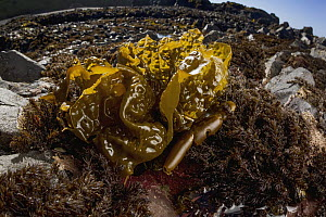 Sea Cabbage Kelp (Saccharina sessilis), Yaquina Head Outstanding Natural Area, Newport, Oregon - Jaymi Heimbuch