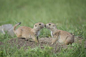 Black-tailed Prairie Dog (Cynomys ludovicianus) pair greeting, Wind Cave National Park, South Dakota - Sean Crane