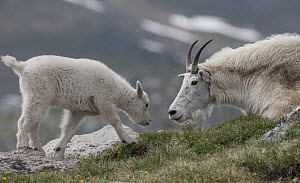 Mountain Goat (Oreamnos americanus) mother and kit, Mount Evans, Colorado - Sean Crane