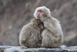 Japanese Macaque (Macaca fuscata) mother and sub-adult huddling, Jigokudani, Nagano, Japan - Sean Crane