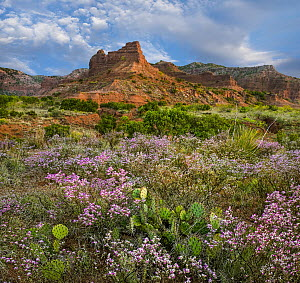 Wildflowers and cacti, Caprock Canyons State Park, Texas  -  Tim Fitzharris