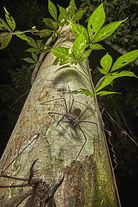 Tailless Whip Scorpion pair, Tambopata Research Center, Peru - Paul Bertner