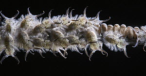 Owl Fly (Ascalaphidae) larvae, Tambopata Research Center, Peru - Paul Bertner