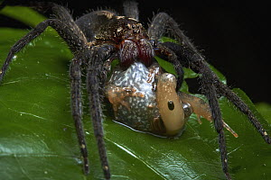 Spider (Ctenidae) feeding on frog prey, Tambopata Research Center, Peru - Paul Bertner