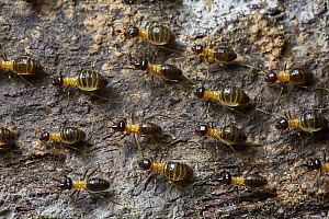 Termites, Tambopata Research Center, Peru - Paul Bertner