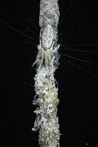 Orb-weaver Spider (Cyclosa sp) camouflaged on branch in web, Tambopata Research Center, Peru - Paul Bertner