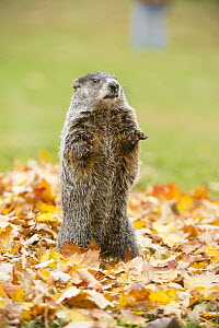 Woodchuck (Marmota monax) on alert, native to North America  -  Steve Gettle