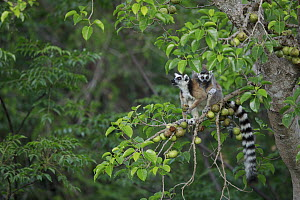 Ring-tailed Lemur (Lemur catta) mother with young feeding on fruit in tree, Anja Park, Madagascar  -  Cyril Ruoso