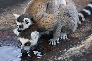 Ring-tailed Lemur (Lemur catta) mother with young drinking, Anja Park, Madagascar  -  Cyril Ruoso