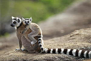Ring-tailed Lemur (Lemur catta) mother and young, Anja Park, Madagascar  -  Cyril Ruoso