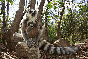 Ring-tailed Lemur (Lemur catta) mother and young in forest, Anja Park, Madagascar  -  Cyril Ruoso