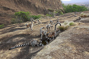 Ring-tailed Lemur (Lemur catta) group drinking from puddle, Anja Park, Madagascar  -  Cyril Ruoso