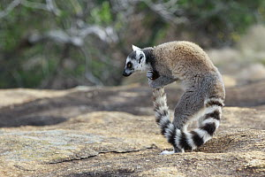 Ring-tailed Lemur (Lemur catta) male scenting tail to use during stink fights with other males, Anja Park, Madagascar  -  Cyril Ruoso