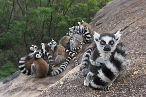 Ring-tailed Lemur (Lemur catta) group huddling for warmth, Anja Park, Madagascar - Cyril Ruoso