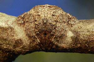 Spider camouflaged on branch, Anja Park, Madagascar  -  Cyril Ruoso
