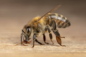 Honey Bee (Apis mellifera) poisoned worker turns out mouthparts shortly before dying at hive entrance, Germany  -  Ingo Arndt
