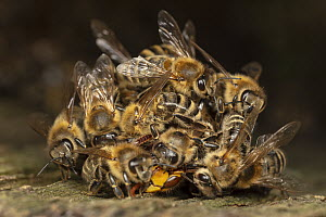 Honey Bee (Apis mellifera) group killing European Hornet (Vespa crabro) by surrounding it and overheating it, Germany, sequence 6 of 7  -  Ingo Arndt