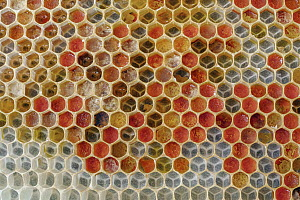Honey Bee (Apis mellifera) honeycomb cells filled with pollen, Germany - Ingo Arndt