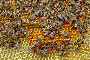 Honey Bee (Apis mellifera) colony on honeycomb filled with pollen, Germany - Ingo Arndt