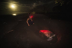 Green Sea Turtle (Chelonia mydas) biologist examining nesting female at night, Tortuguero National Park, Costa Rica - Ralph Pace