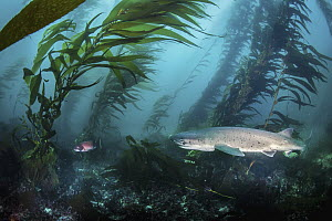 Spotted Seven-gilled Shark (Notorynchus cepedianus) in kelp forest, San Diego, California - Ralph Pace