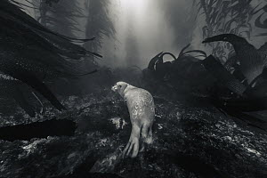 Harbor Seal (Phoca vitulina) in kelp forest, San Diego, California - Ralph Pace