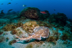 Giant Electric Ray (Narcine entemedor), Revillagigedo Islands, Mexico - Ralph Pace