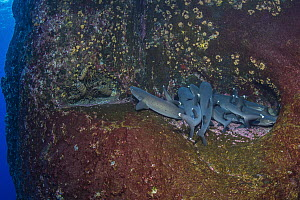 White-tip Reef Shark (Triaenodon obesus) group resting, Revillagigedo Islands, Mexico  -  Ralph Pace