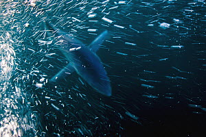Blue Shark (Prionace glauca), San Diego, California - Ralph Pace