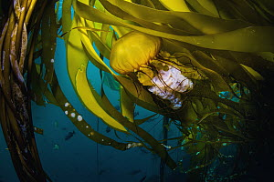 Pacific Sea Nettle (Chrysaora fuscescens) jellyfish in kelp, Monterey Bay, California - Ralph Pace